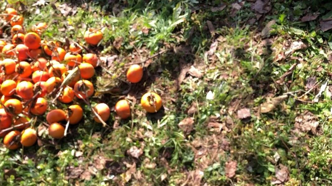 柿の収穫依頼